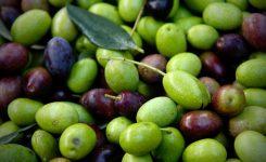 Notizie sull'olivo Peranzana